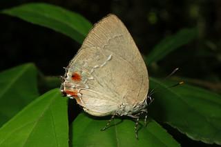 Strephonota syedra
