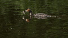Too good to give (thethoughtbadger) Tags: greatcrestedgrebe catchoftheday earlswoodlakes fathersday