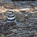 Killdeer on nest thumbnail