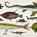 Collection of various fishes from A history of the earth and animated nature (1820) by Oliver Goldsmith (1730-1774). Digitally enhanced from our own original edition.