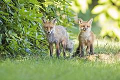 Happy Fathers Day!... (DTT67) Tags: fox redfox redfoxkit wildlife animal mammal canon 1dxmkii 500mmii 14xtciii maryland fathers day