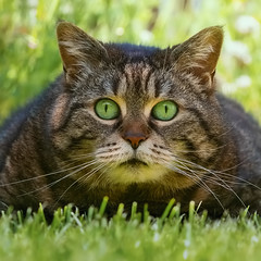 Monday ? You joking ? (FocusPocus Photography) Tags: cleo katze cat chat gato tier animal haustier pet gras grass garten garden