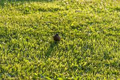 _MG_4046a (Rick_Moeller) Tags: nature wildlife birds stferdinandpark florissant missouri mo outdoors robin