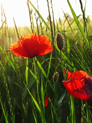 Poppies (The-Beauty-Of-Nature) Tags: summer may mai nature germany deutschland plants pflanzen green grün lush sunny sun sonne sonnig warm evening abend fields feld