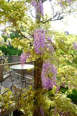 Morgenstimmung (Valerio Soncini) Tags: bern blauregen frühling glyzine grün jpg schweiz xe2 xf16mmf14 green purple sooc spring swiss switzerland violet violett