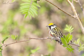Paruline à flancs marron - Chestnut-sided Warbler