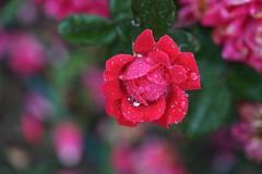 Red rose in the rain (JPShen) Tags: bokeh garden rose red raindrops rain