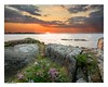 Flowers and rocks (pellepersson) Tags: pellepersson canon5d sunset sea beach sweden halland sky rocks