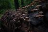 Fungus Coverd Log - 053118-105631 (Glenn Anderson.) Tags: fungus macro closeup fz1000 outdoor spores forest nature wood woodrot bokeh cliffsoftheneusestatepark natural cap fungi