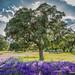 Encina (evergreen oak)