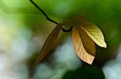In the Garden:  Serviceberry Leaves (Ginger H Robinson) Tags: garden serviceberry tree leaves june rockymountain frontrange colorado bokeh macro green