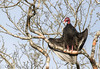 IMG_2256 Turkey Vulture - LN - Zopilote Aura - Cancun, Quintana Roo, Mexico - May 2018 (Saad Towheed Photography) Tags: turkey vulture zopilote aura cancun quintana roo mexico bird feather prey wing beak