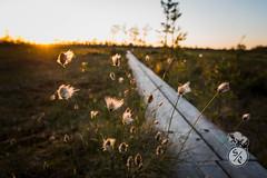 Nature trail (Storm'sEndPhoto) Tags: 2018 anselsiegenthaler stormsendphotography stormsendphoto adventure bog camping eveninglight explore fullframe iltavalo kansallipuisto kauhaneva kauhanevankansallispuisto mire myre nationalpark neva nikon nikonphotography retkeily sunset swamp