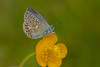 Common Blue (microwyred) Tags: events nature flower lepidoptera places beautyinnature outdoors butterflyinsect animal selseycommonglos closeup plant insect macro greencolor butterfly blue wildlife multicolored fragility summer yellow springtime animalwing common
