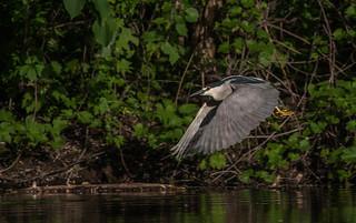 Bihoreau gris/Black-crowned Night-Heron -15046
