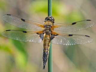 4 Spotted Chaser........