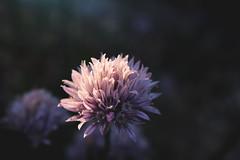 (michaeldantesalazar) Tags: flower flowers garden nature purple soft light softlight colour colours sunset canada winnipeg