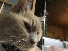 Norio on the Futon (sjrankin) Tags: 5june2018 edited animal cat norio closeup futon night bedroom yubari hokkaido japan
