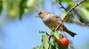 DSC_9667 (sylvettet) Tags: animal moineau oiseau bird sparrow cerises 2018 cherries