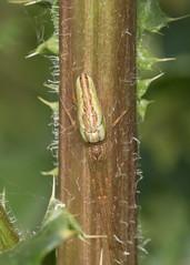 Camouflaged spider (explored) (Anne Richardson) Tags: tetragnatha longjawed orbweaver nature norfolk wildlife spider macro macrophotography camouflage