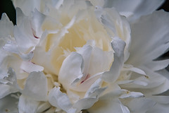 Peony - Luminar2018 (KWPashuk) Tags: nikon d7200 tamron tamron18400mm lightroom luminar luminar2018 kwpashuk kevinpashuk flower peony garden nature