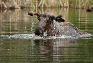 Young bull moose feeding in a pond