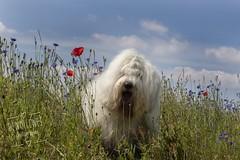 "Maestro "" explore "" (dewollewei) Tags: explore explored exploreddogs old english sheepdog maestro dog oldenglishsheepdogs poppies flowers summer canon 50mm oes bobtail wildflowers"