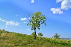Lonely oak (МирославСтаменов) Tags: russia mogutova zhiguli oak tree crown meadow slope sky cloudscape