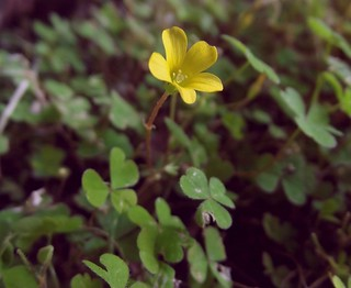 Oxalis exilis (Least Yellow Sorrel), close-up, Little Berkhamsted, Herts, 11.6.18