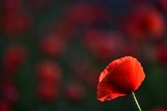 Siempre sola. Y tan felíz. (elena m.d.) Tags: amapolas flores rojo red nikon d5600 sigma105 2018 elena paisaje landscape 7dwf macromondays