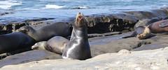 The winner (JonSalim) Tags: sea lions san diego beach sealions sandiego sandiegosealions lajollacove seelöven