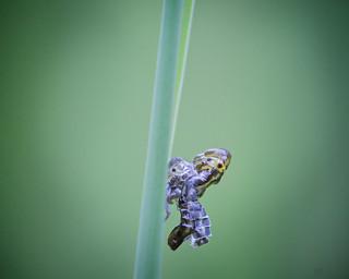 Cicadelle en mue