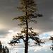 Yosemite: A strong tree 2