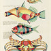 Colourful and surreal illustrations of fishes and crab found in the Indian and Pacific Oceans by Louis Renard (1678 -1746) from Histoire naturelle des plus rares curiositez de la mer des Indes (1754).