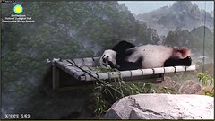 One thing I love about Bei's new bed, is that it makes him look itty-bitty again! 😍😘 (Robin Gower) Tags: ittybitty sleep hammock bed beibei pandastory panda ccncby