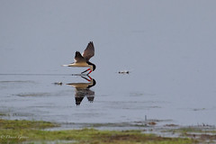 Head Down (dngovoni) Tags: action background bird bombayhook delaware flight skimmers sunrise water wildlife smyrna unitedstates us