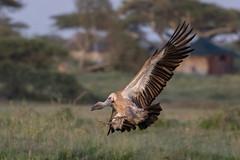 Slow down - it's the weekend! (Hector16) Tags: namiriplains eastafrica tanzania serengeti wildlife nature shinyangaregion tz