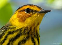 Cape May Warbler (bbatley) Tags: