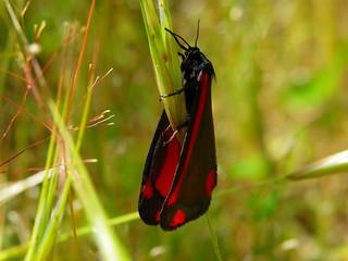 Cinnabar Moth IMGP5603