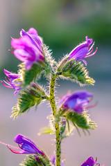 Vipérine vulgaire ou Vipérine commune (jmmuggianu) Tags: fleurs flowers vipérine vulgaire echium vulgare