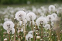 2018-05-21 15.19.25 Dandelion (HAKANU) Tags: sweden småland kronoberg ör field white seeds dandelion flowers flower