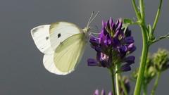 La piéride (BrigitteChanson) Tags: papillon butterfly farfalla mariposa piéride
