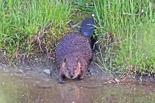 Beaver 15-0530-1935