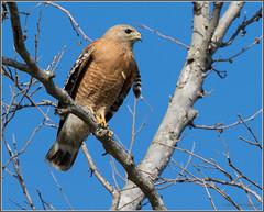 Red-shouldered Hawk 7529 (maguire33@verizon.net) Tags: buteolineatus bird birdofprey hawk raptor redshoulderedhawk wildlife