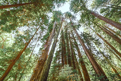 Muir Woods - Redwood Giants (amandabenizzi) Tags: john muir national park monolith mountain trees nature red california