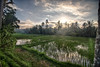Morning in the rice fields of Ubud, Bali. (_paVan_) Tags: hdr nature paddyfields paddy rice fields ricefields indonesia visesa desavisesa ubud bali