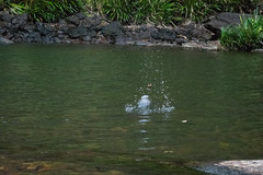 Australia_2018-201.jpg (emmachachere) Tags: subtropical trees hike waterfall boatride springbrook australia rainforest kanagroo animals koala brisbane boat lonepinekoalasanctuary