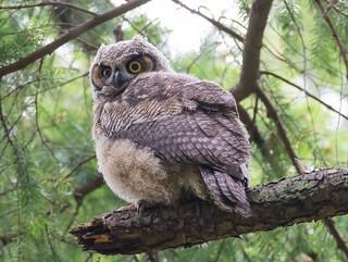 Great horned owl feeding time
