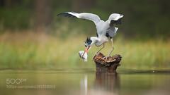 Grey Heron (KevinBJensen) Tags: lake water bird riverbank pond pier blue heron fresh jetty mallard duck river