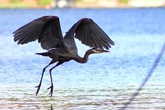 In flight (briannalhendricks) Tags: birdphotography bird canonrebelt6 canonrebel canon pnw lake heron